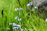 Blue wildflowers. Photographed in Armenia
