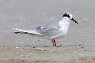 Forster's Tern - Sterna forsteri - adult in transition to breeding plumage