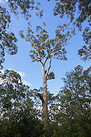 tree, stem, sky, clouds, leaves, one point perspective