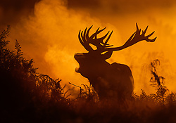 CAPTION CORRECTION © Licensed to London News Pictures. 06/10/2017. London, UK. A stag bellows in first light in Bushy Park. A high of 15 centigrade is expected in parts of the south today. Photo credit: Peter Macdiarmid/LNP