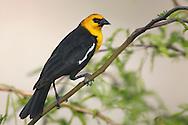 Yellow-headed Blackbird - Xanthocephalus xanthocephalus - Adult male