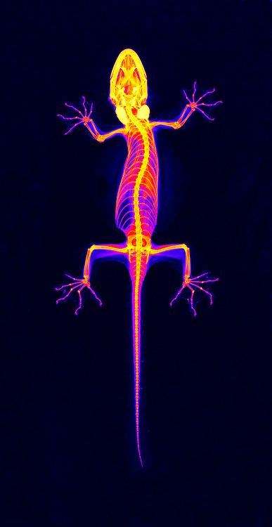 X-Ray of a Flying gecko (Ptychozon kuhli)  This specimen is from Indonesia.