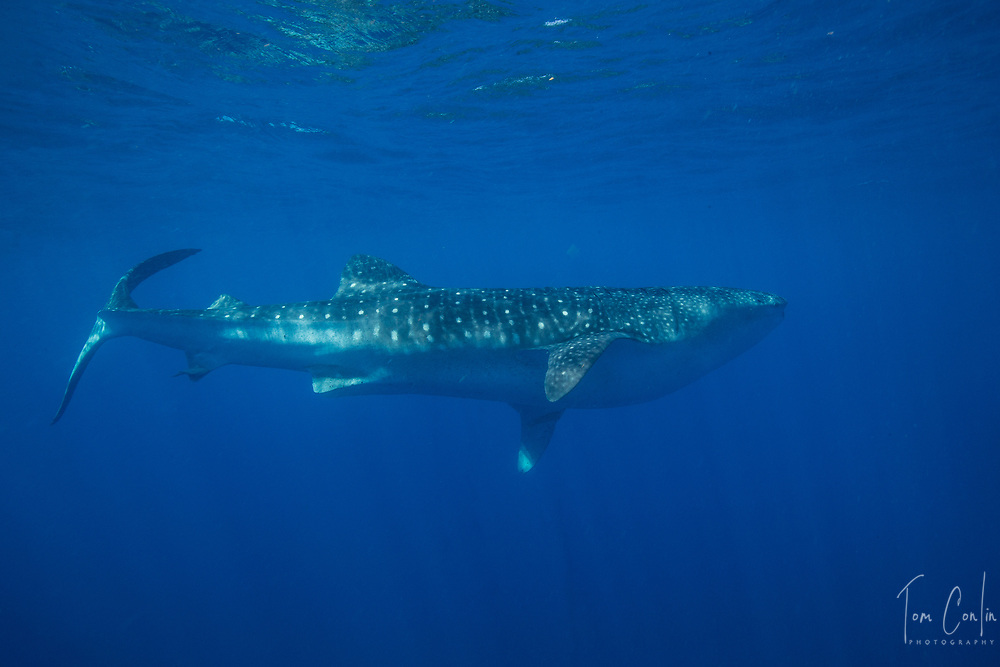 Whale Shark ~ Rhincodon typus ~ Isla Mujeres, Mexico ~ www.adventurequestX.com