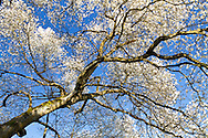 A Magnolia tree at in full bloom at Queen Elizabeth Park in Vancouver, British Columbia, Canada