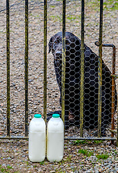 Millie, a black labrador, guarding the milk which was delivered to the outside of the gate during the coronavirus lockdown.<br /> <br /> (c) Andrew Wilson | Edinburgh Elite media