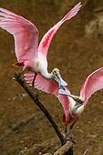 Ibises spoonbills and cranes