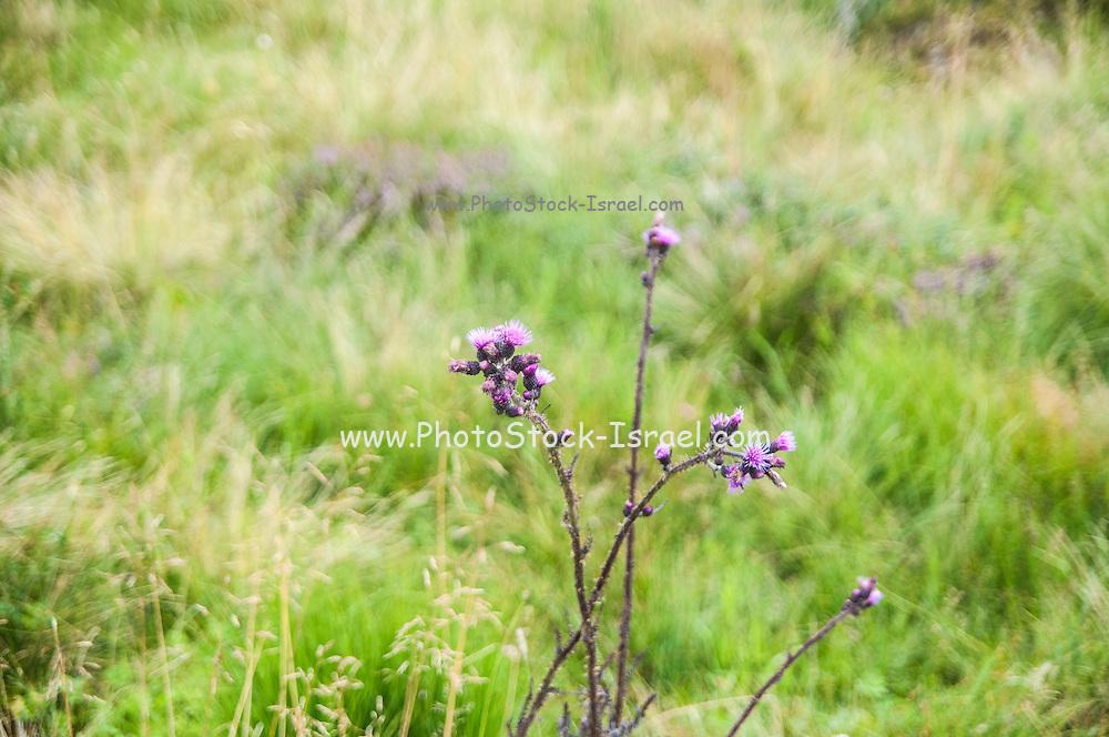 Purple Alpine Thistle, Photographed in Austria, Tyrol