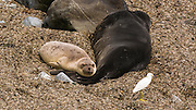 Northern Elephant Seals  and egret, Piedras Blancas Elephant Seal Rookery, San Simeon, California USA