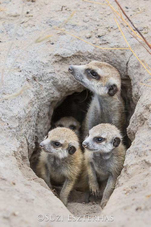 Meerkat<br /> Suricata suricatta<br /> Adult and six-week-old pups in burrow<br /> Makgadikgadi Pans, Botswana