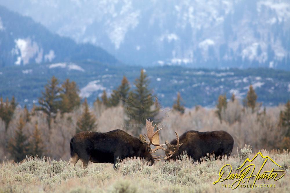 Fighting Bull Moose, Grand Teton National Park