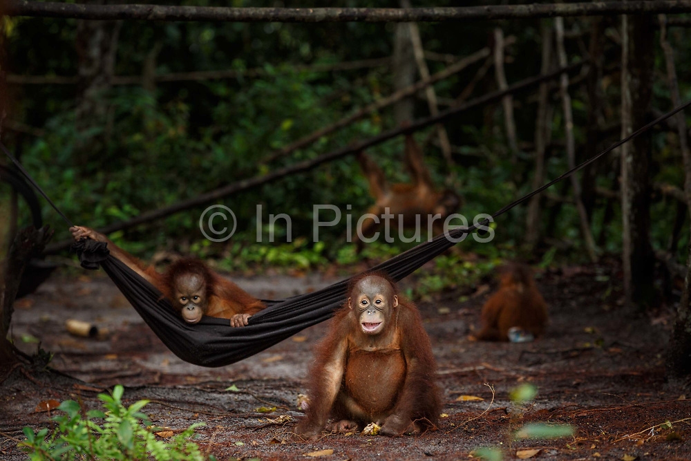 Infant orang-utans play in a hammock in the nursery at Nyaru Menteng Rehabilitation Centre, run by the Borneo Orangutan Survival Foundation, in Central Kalimantan, Borneo, Indonesia on 27th May 2017. Baby orang-utans are rescued from situations including being illegally kept as pets and being orphaned by loggers or workers on palm oil plantations. The centre houses around 450 rescued orangutans who have been displaced from their habitats by human activity. They undergo a rehabilitation process that trains them how to live in the wild.