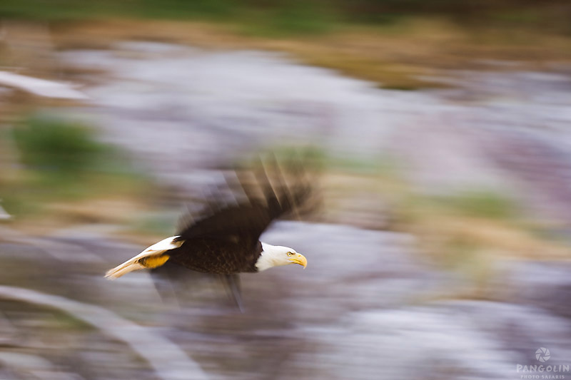 A mature Bald Eagle in flight is captured with wings and background in motion over Arran Rapids.  Sonora Island, Discovery Islands, British Columbia, Canada.
