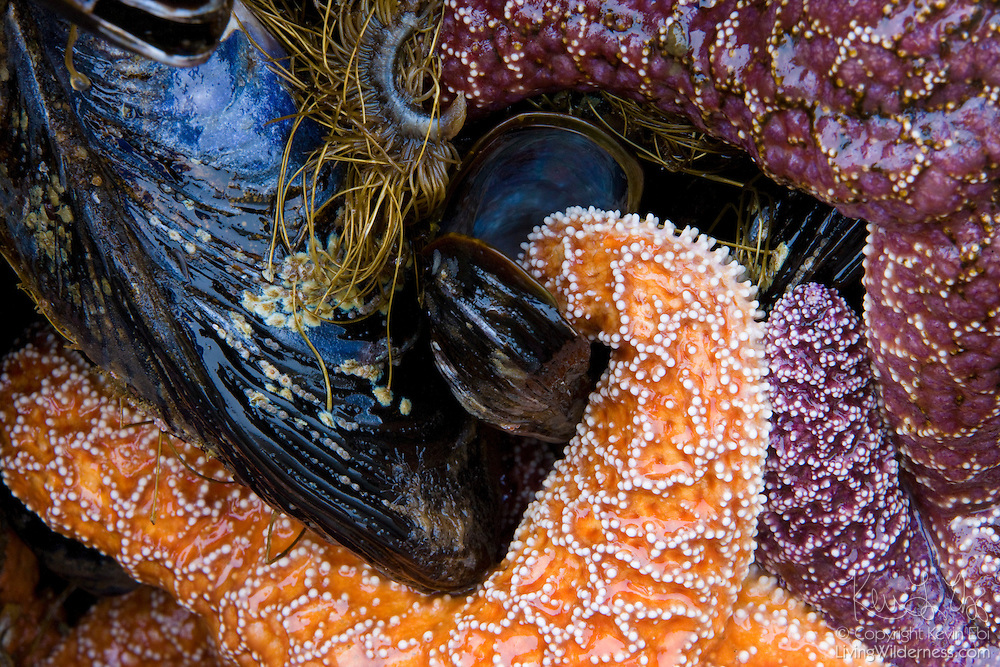 An ochre sea star (Pisaster ochraceus) feeds on a mussel exposed at low tide at Bandon, Oregon. Sea stars, also called starfish, feed by forcing shells open, inserting their stomachs into the shells and then slowly digesting and sucking the food out.