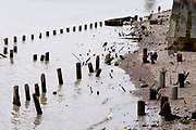 With the wooden piles of old warves and quays revealed in the low tidal waters of the Thames, members of the public explore the river's foreshore near the Saxon and Elizabethan-era Queenhithe dock, on 13th September 2021, in London, England. Excavating the Thames foreshore is only allowed by licensed 'Mudlarkers' who scour the mud and shingle for historical artefacts dated throughout London's history as a port and ancient settlement.
