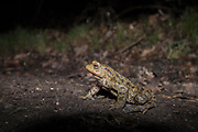 Common toad (Bufo bufo) crossing a road at night on migration to breeding pond. Sussex, UK.