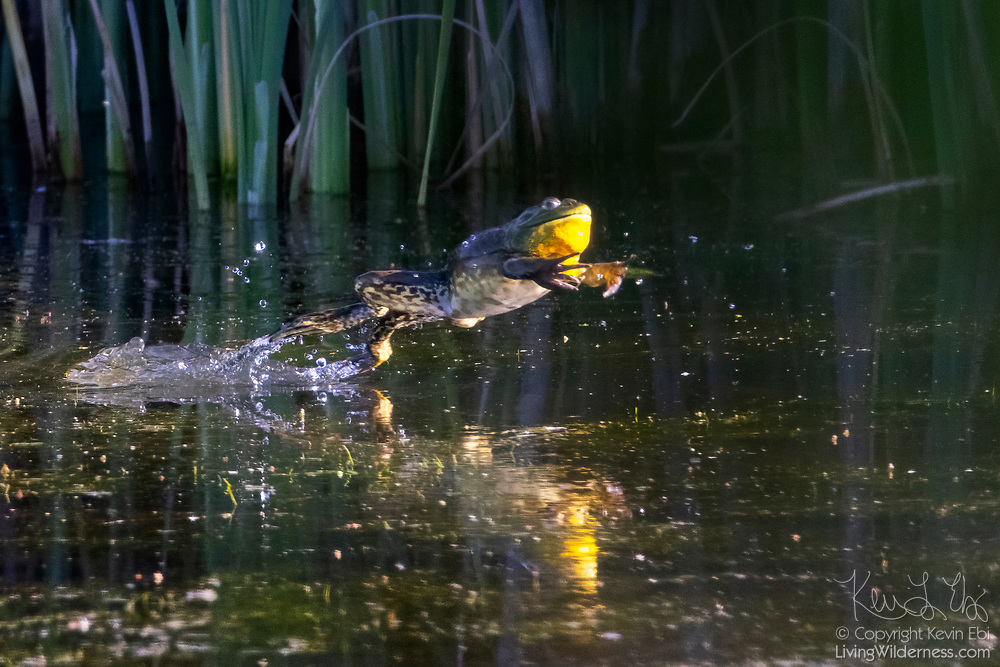 An American bullfrog (Lithobates catesbeianus) leaps from the water of Wiley Slough in the Skagit Wildlife Area near Mount Vernon, Washington.