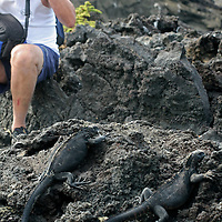 A photographer gets close up and intimate with marine iguanas of Bartholomew Island in the Galapagos. Ecuador, South America.