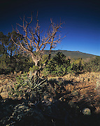 Weathered Juniper tree & Sunrise on Mt. Trumbull (elev. 2447), Arizona Strip, Arizona..Subject photograph(s) are copyright Edward McCain. All rights are reserved except those specifically granted by Edward McCain in writing prior to publication...McCain Photography.211 S 4th Avenue.Tucson, AZ 85701-2103.(520) 623-1998.mobile: (520) 990-0999.fax: (520) 623-1190.http://www.mccainphoto.com.edward@mccainphoto.com.