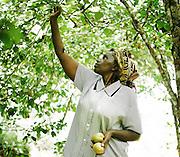LIMURU, KENYA – MARCH 13, 2010: A Kenyan woman harvests pears in an orchard behind her home in rural Limuru, Kenya.