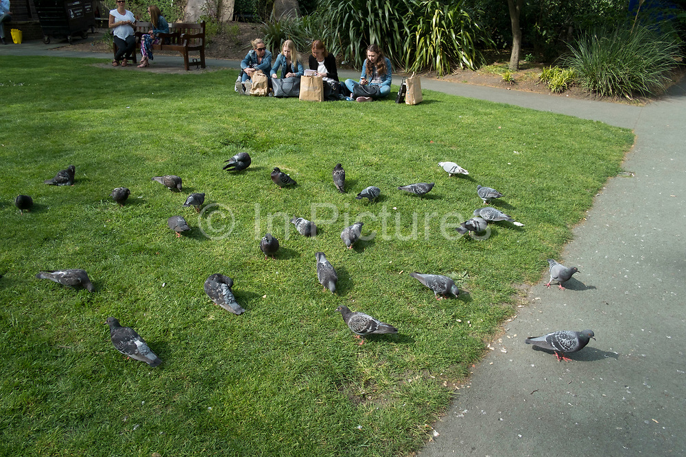 Symetrical pigeons pecking at scraps of feed at lunctime in a small park in London, England, United Kingdom.