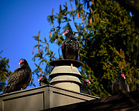 Five Turkey Vultures on a neighbor's roof. Image taken with a Fuji X-T2 camera and 100-400 mm OIS lens (ISO 200, 400 mm, f/5.6, 1/1700 sec).