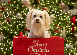 White Morkie Dog in Merry Christmas Box In Front Of The Christmas Tree