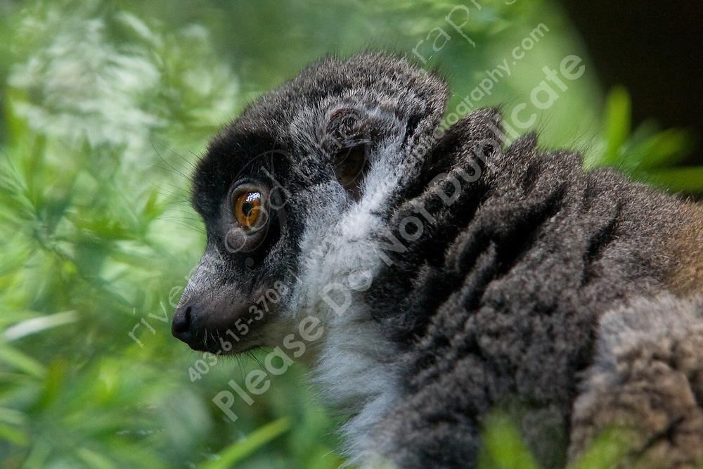 Lemur at the Calgary Zoo