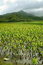 Hawaii: Kauai, taro field in Hanalei Valley.  Photo hifree135.Photo copyright Lee Foster, 510/549-2202, lee@fostertravel.com, www.fostertravel.com