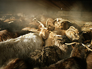 Sheep and goats of a herder in the morning. Travels in the Gobi desert region.