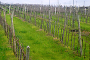 The vineyard with young vines planted and trained in Cordon Royat. Bodega Castillo Viejo Winery, Las Piedras, Canelones, Uruguay, South America