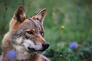 European wolf, Canis lupus, captive, Transsylvania, Romania