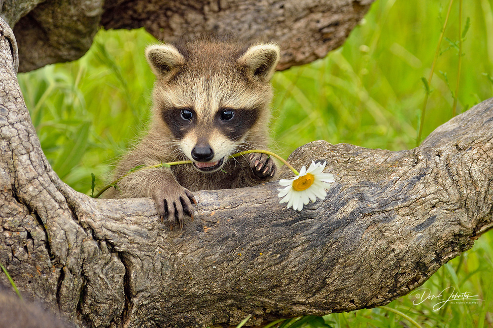 Raccoon (Procyon lotor) Baby exploring old stump, captive, Minnesota wildlife Connection, Sandstone, Minnesota, USA