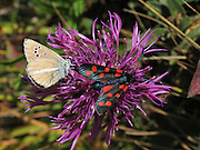A Six-spot Burnet moth (Zygaena filipendulae, a black insect with 6 red wing spots, in the Zygaenidae family) and a tan colored Lepidoptera (butterfly or moth) sip nectar from a Knapweed (Centaurea) flower in Switzerland, the Alps, Europe.