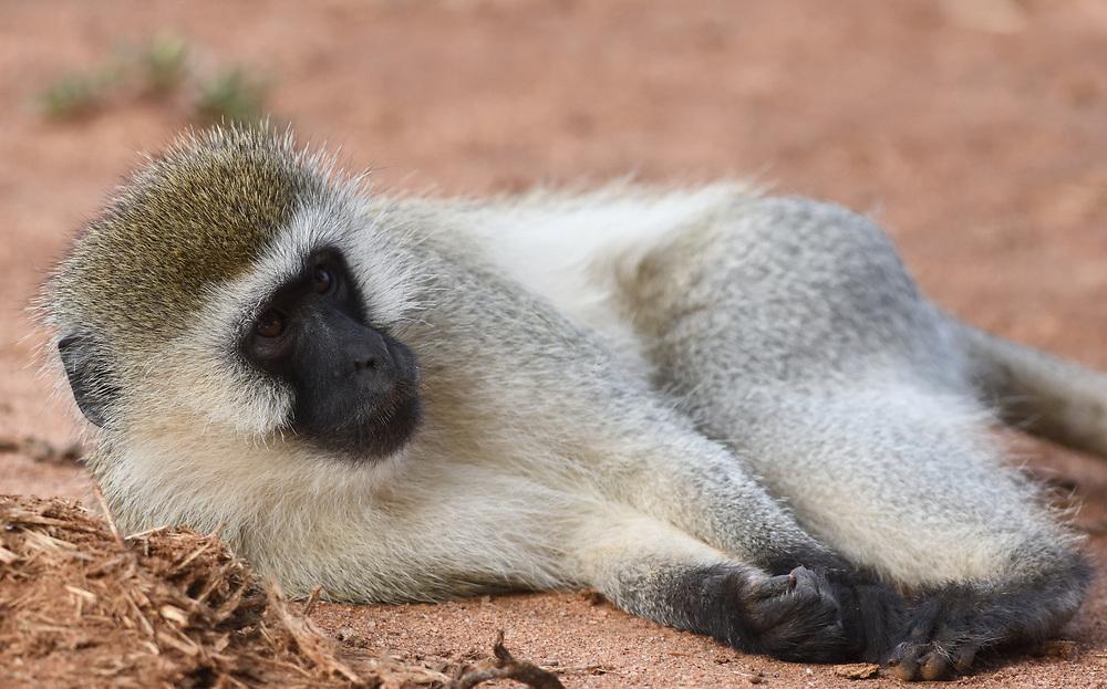A male vervet monkey (Chlorocebus pygerythrus) requests grooming. Tarangire National Park, Tanzania.