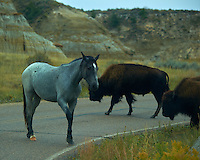 Wild Horse Blocking Traffic to Allow a Group of Bison to Cross the Road at Theodore Roosevelt National Park, North Dakota. Image taken with a Nikon D3s and 80-400 mm VRII lens (ISO 200, 180 mm, f/5.6, 1/800 sec).