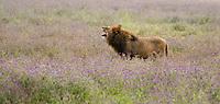 A male Lion, Panthera leo  melanochaita, yawns in Ngorongoro Crater, Ngorongoro Conservation Area, Tanzania