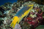Spanish Hogfish (Bodianus rufus)<br /> BONAIRE, Netherlands Antilles, Caribbean<br /> HABITAT & DISTRIBUTION: Reefs<br /> Florida, Bahamas, Caribbean, Gulf of Mexico, Bermuda & south to Brazil.