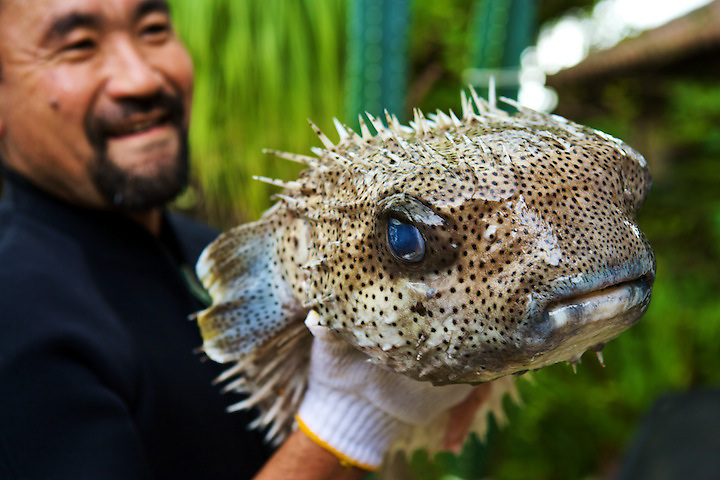 Harisenbon fish have spikes to fend off other fish. The same day this fish was caught, it was eaten for dinner.