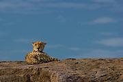 Cheetah on kopje (rock outcropping), Serengeti National Park, Tanzania.