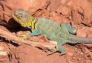 Collared Lizard (genus Crotaphytus) in Monument Canyon in Colorado National Monument, near Grand Junction and Fruita, Colorado, USA.