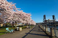 Cherry Blossoms in full bloom on a sunny morning along the waterfront in downtown Portland, Oregon