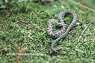 02830-001.05 (Dupe) (TF) Prairie kingsnake (Lampropeltis calligaster)    IL