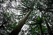 Japan, Yakushima - In the deep forest, some trees have the shape of octopus.