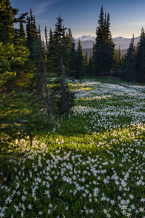Alpine meadow populated with avalanche lilies (Erythronium montanum), afternoon light, July,  Bailey Range in the distance, Elwha River watershed, Olympic National Park, Clallam County, Washington,USA