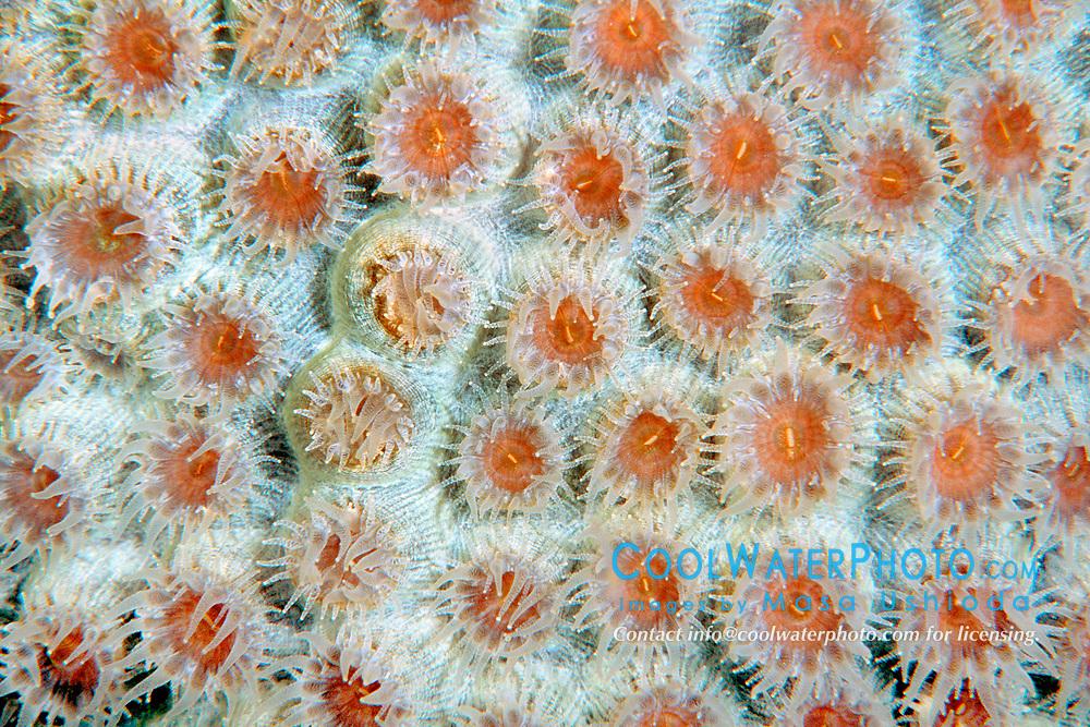 great star coral, Montastrea cavernosa, Looe Key, Florida Keys National Marine Sanctuary, Florida, Atlantic Ocean