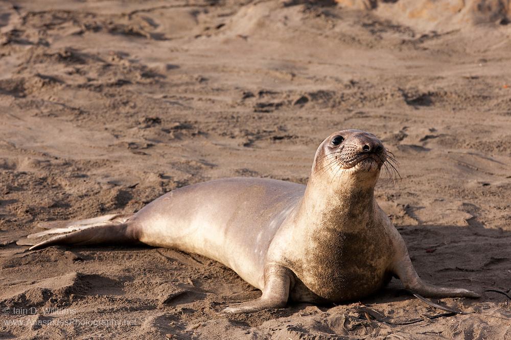 Northern Elephant Seal (Mirounga angustirostris) - California