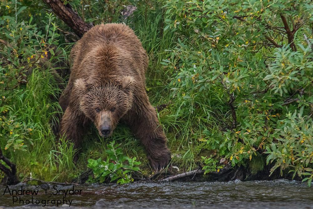 A female brown bear (Ursus arctos) on the side of the creek looking for salmon - Katmai, Alaska