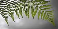 Bracken fern (Pteridium aquilinum)frond transluscent in backlight panorama