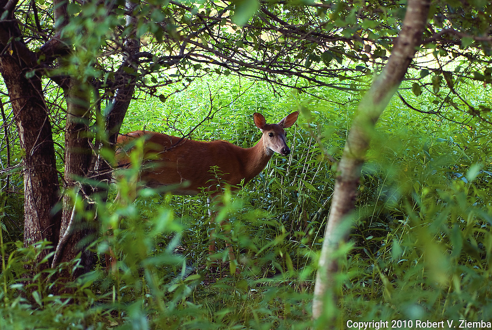 """""""Under the Apple Tree""""-An image of a white-tail deer under an apple tree in Vermont."""