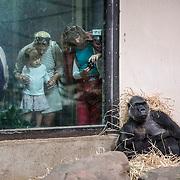 Gorillamoeder Sindy wordt bekeken in Artis terwijl ze haar jong aan het zogen is.<br /> Ondanks postieve kanten als fokprogramma's van bedreigde diersoorten zoals deze gorilla en educatie zijn dierentuinen steeds vaker het onderwerp van discussie.